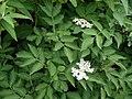 Sambucus nigra 138433997.jpg