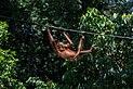 Sandakan Sabah Sepilok-Orangutan-Rehabilitation-Centre-02a.jpg