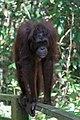 Sandakan Sabah Sepilok-Orangutan-Rehabilitation-Centre-03.jpg