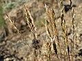 Sandberg bluegrass, Poa secunda ssp. secunda (17143112715).jpg