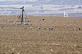 Sandhill Cranes and center-pivot irrigation posts.jpg