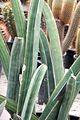 Sansevieria hallii pm.jpg