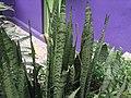 Sansevieria zeylanica-plant-yercaud-salem-India.JPG