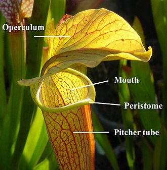 Peristome - Diagram showing the location of the peristome on a Sarracenia (North American pitcher plant)