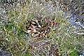 Sarracenia purpurea (5723863997).jpg
