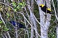 Satin & Regent Bowerbirds, Lamington National Park, Queensland DSC mjk.jpg