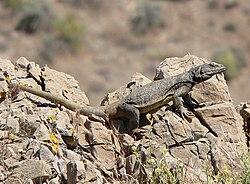 Un chuckwalla, dans le Nevada