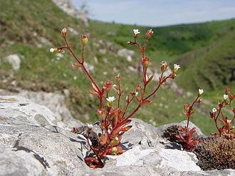Saxifraga tridactylites - Saxifraga tridactylites on limestone outcrop, Derbyshire, England.