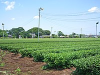 Sayama-cha Tokorozawa tea field 09.jpg