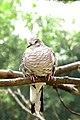 Scardafella squammata -Pomerode Zoo, Santa Catarina, Brazil-8a.jpg