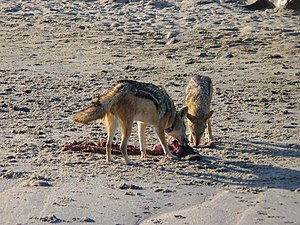 Pair bond - Black-backed jackals are one of very few monogamous mammals. This pair works together in teamwork to hunt down prey and scavenge. They will stay together until one of the two dies.