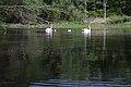 Schwäne mit Küken auf einem kleinen See.jpg