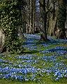 Scilla carpet Alnwick gardens.jpg