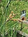 Scirpus tabernaemontani f zebrinus2.jpg