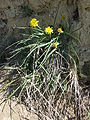 Scorzonera austriaca sl7.jpg