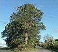 Scots Pine - geograph.org.uk - 257020.jpg