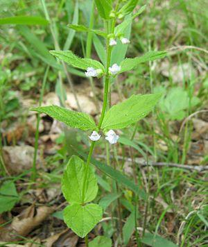 Scutellaria nervosa - Image: Scutellaria nervosa