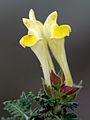 Scutellaria orientalis 01.jpg