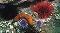 Sea cucumber among urchins (7622487520).jpg