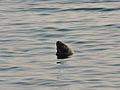 Seal off Downderry Beach.jpg