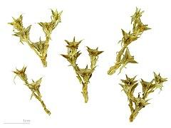 Sedum acre for Significado de ornamental wikipedia