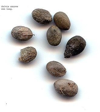 Salvia azurea - Seeds