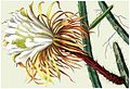Selenicereus urbanianus (Cereus urbanianus) 3.153-154.jpg