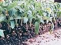 Semis de tomate.jpg