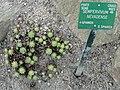 Sempervivum nevadense - Copenhagen Botanical Garden - DSC07342.JPG