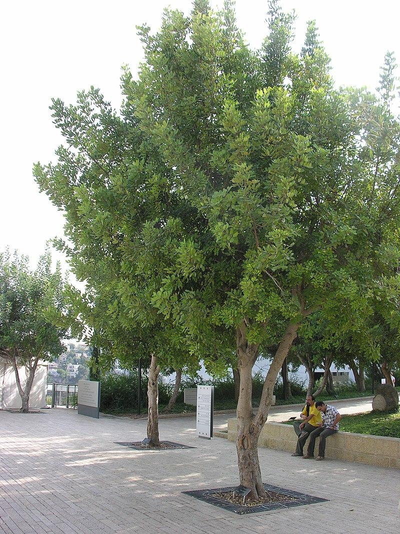 https://upload.wikimedia.org/wikipedia/commons/thumb/3/38/Sendlerowa-drzewko.JPG/800px-Sendlerowa-drzewko.JPG