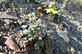 Senecio leucanthemifolius subsp. vernalis kz1.jpg