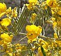 Senna artemisioides 1.jpg