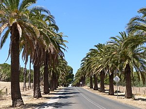 Seppeltsfield, South Australia - The palm lined road to Seppeltsfield