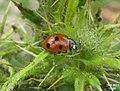 Seven-spot ladybird (5876402262).jpg