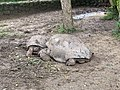 Seven Coloured Earths, tortoise, Chamarel, March 2020 (6).jpg