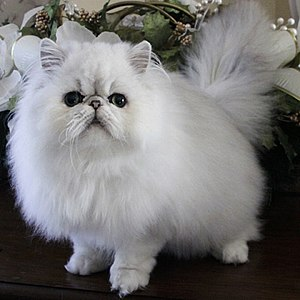 Persian cat - Image: Shaded silver Persian Cat Missionhill Cosmic Rainstorm