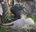 Sheep-shearing, finally the head - geograph.org.uk - 1378882.jpg