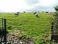 Sheep grazing on gently undulating land near The Dog Mills - geograph.org.uk - 59887.jpg