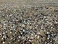 Shells on beachs sand.jpg