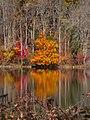 Shore Maple (142983273).jpeg