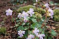 Shortia uniflora 07.jpg