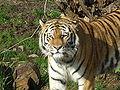 Sib Tiger.jpg