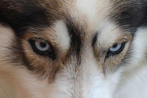 Siberian husky ice blue eyes detail.jpg