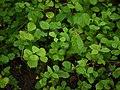 Sida alnifolia var. alnifolia (6185566772).jpg