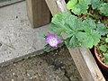 Sidalcea malviflora (14302121299).jpg