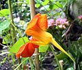 Side view of tropaeolum majus.jpg