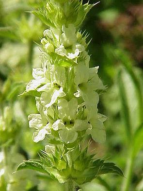 Ysopblättriges Gliedkraut (Sideritis hyssopifolia)