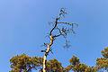 Silhouet dode boomtop in de strakblauwe lucht.Location, Kroondomein Het Loo 03.jpg