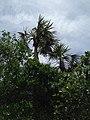 Silver Palms - panoramio.jpg