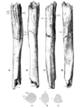 Sinanthropus Humerus II.png